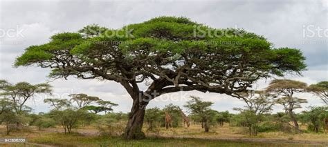 Acacia Tree And Giraffes Landscape In Africa Stock Photo